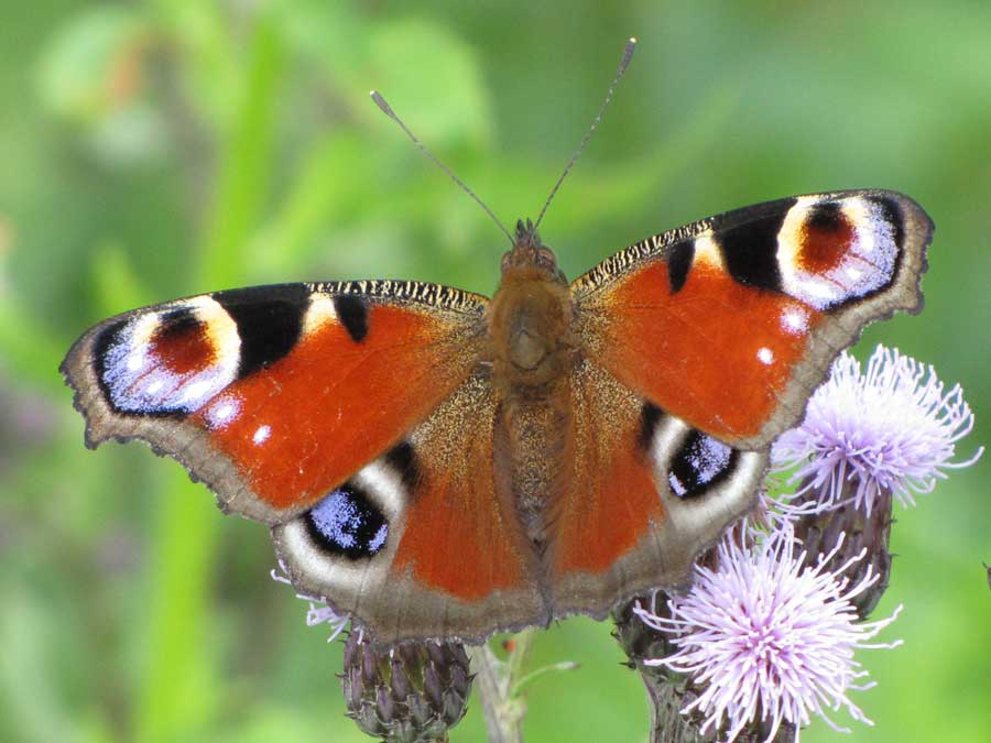 Daylight peacock butterfly